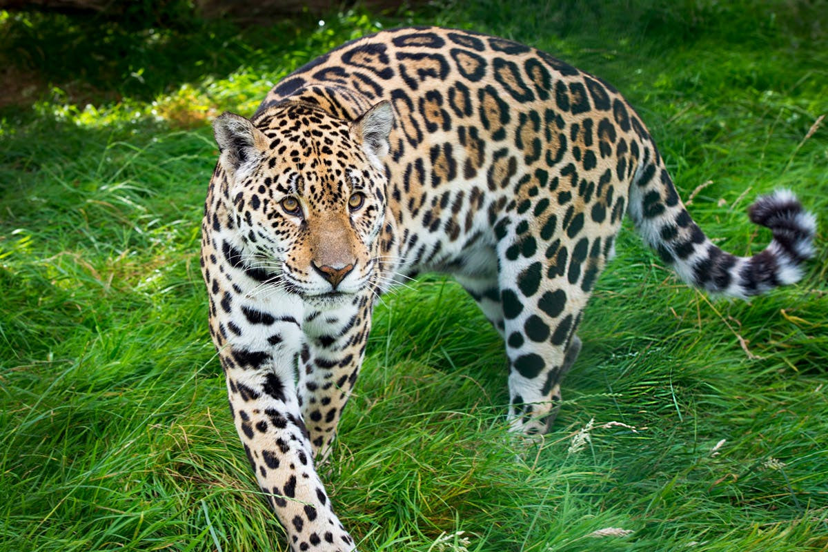 Big cat encounter for two with Virgin Experience Days