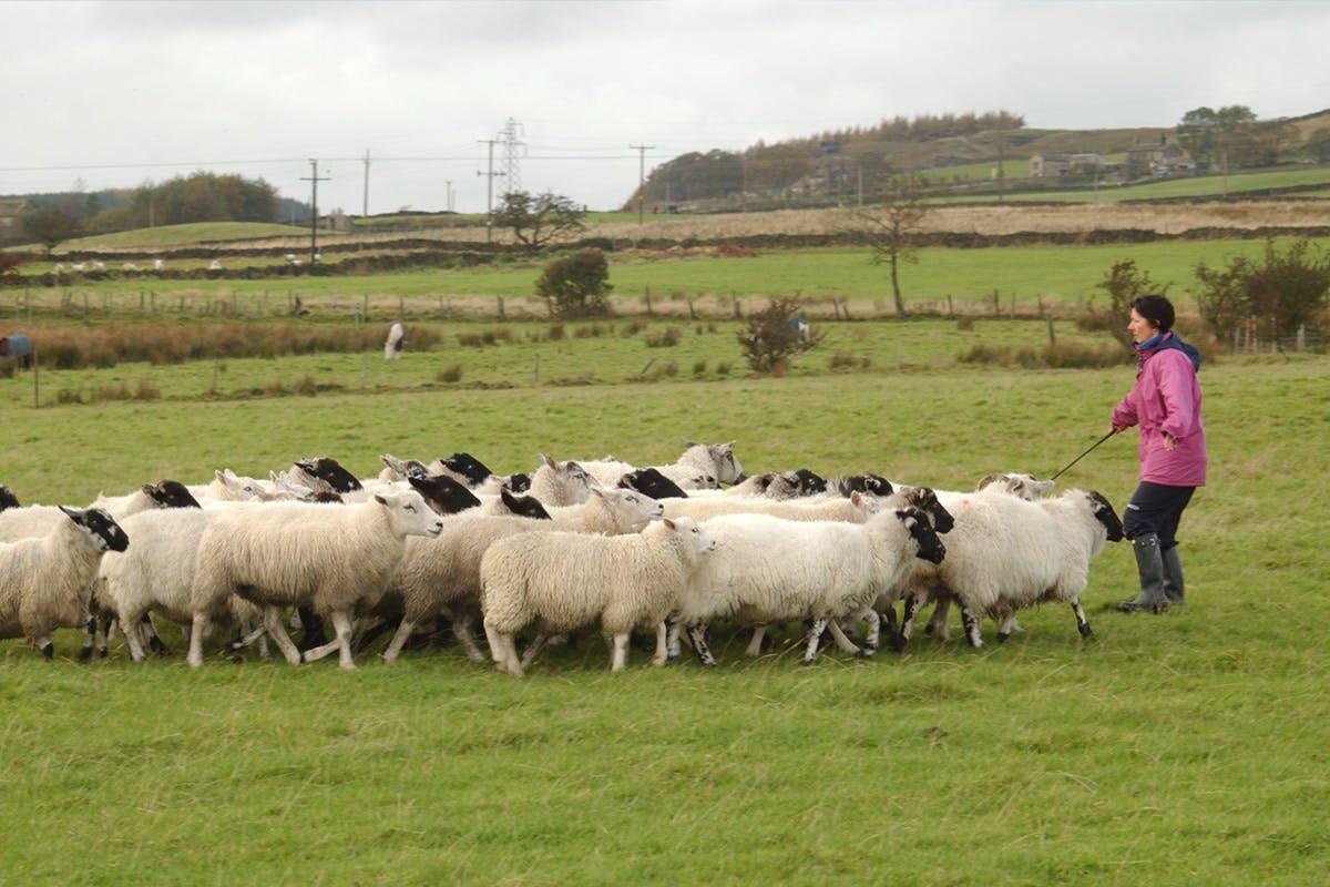 Sheepdog Training Day