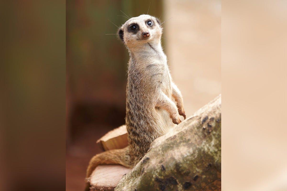 Feed the Meerkats at Dartmoor Zoo