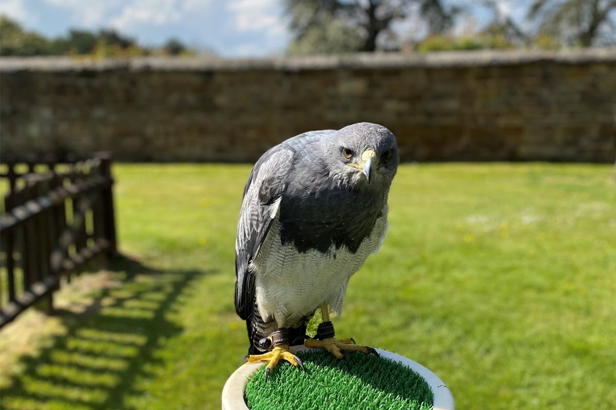 Premier Falconry Experience at Icarus Falconry Centre