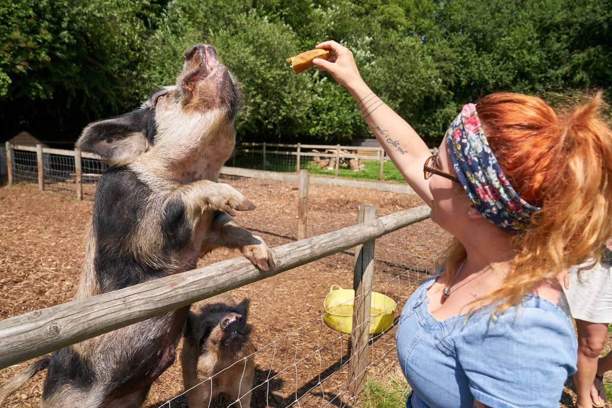 The Pig Enthusiast Experience at Kew Little Pigs