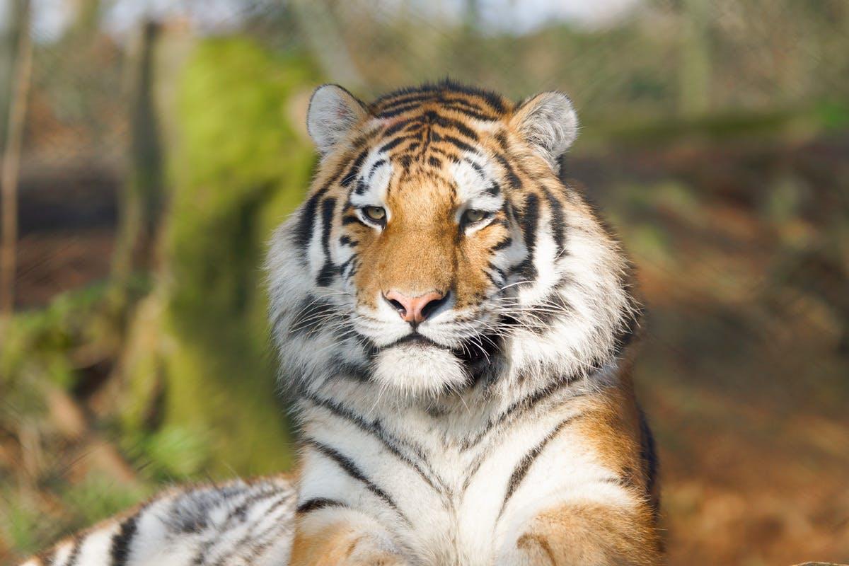Tiger Encounter at Dartmoor Zoo