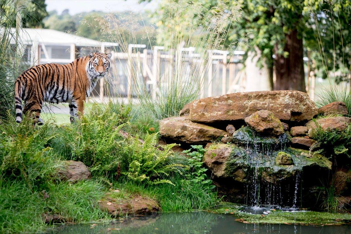 Up-Close Tiger Encounter for Two at Woburn Safari Park