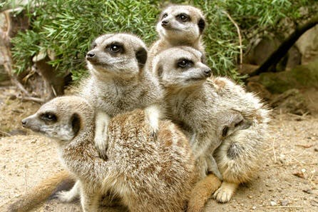 Meerkat Experience for One at Drusillas Park