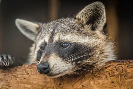 Meet and Feed the Raccoons for Two at Millets Falconry Centre