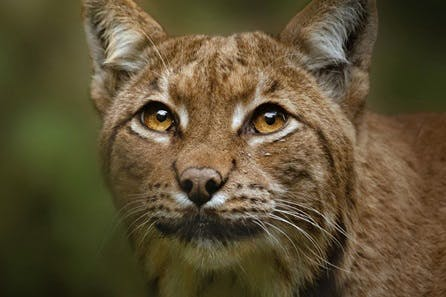 Meet the Lynx at Dartmoor Zoo for Two