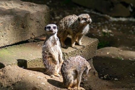 Meet the Meerkats for Two at Bridlington Animal Park