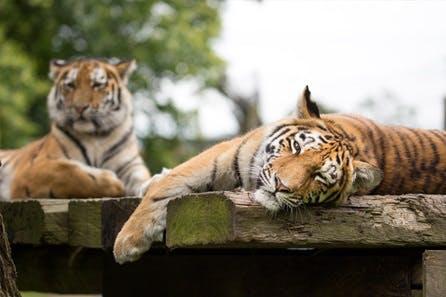 Up-Close Tiger Encounter at Woburn Safari Park