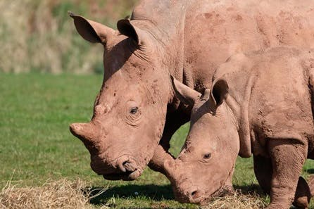 White Rhino Encounter with Day Admission to South Lakes Safari Zoo